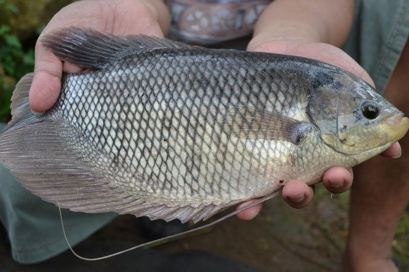 penyebab ikan gurame mati mendadak