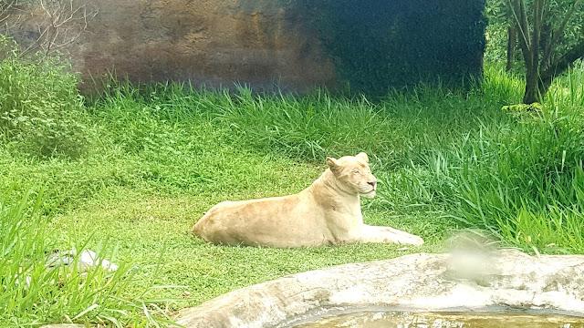 Singa Betina yang tingga di Bukit Gambang Safari Park