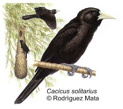 Boyero negro Cacicus solitarius