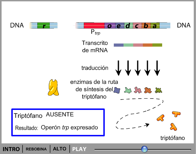 http://www.bionova.org.es/animbio/anim/operontrp1.swf