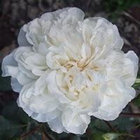 White Meidiland (Rosa coprisuolo)
