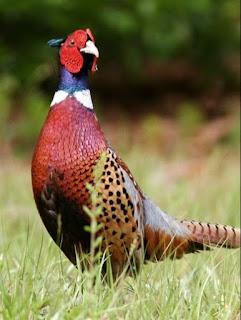 cara ternak ringneck pheasant
