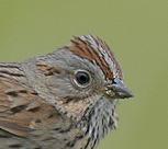Loncolns Sparrow head