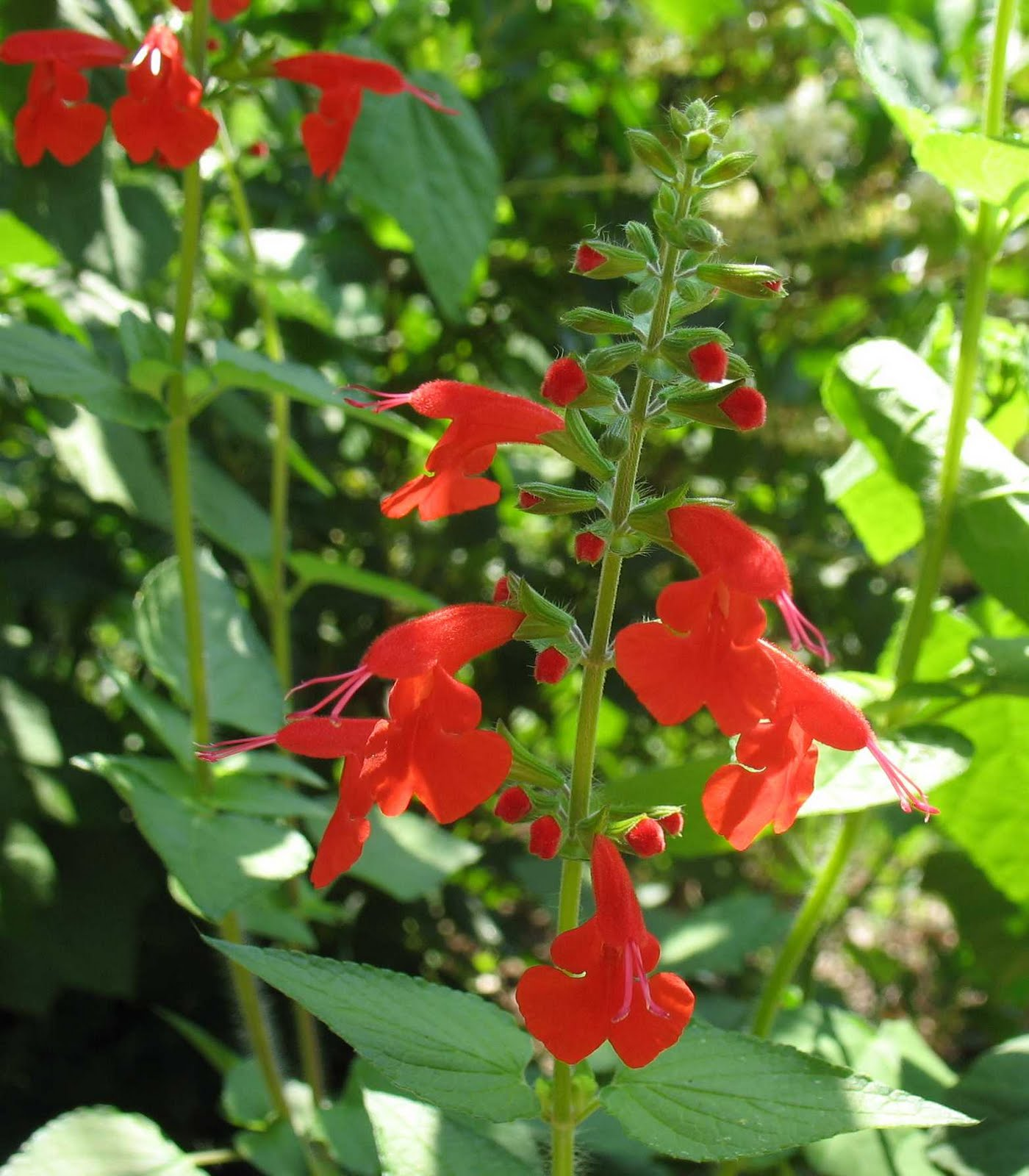 Native Plants: Using Georgia Native Plants: Hummingbird Favorites In My