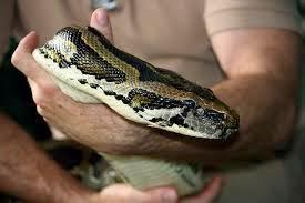 ular bermahkota ditemukan di cibubur