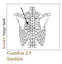 Amfiartrosis