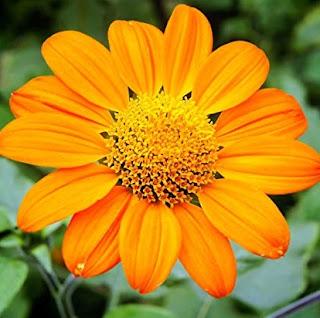 bunga-matahari-meksiko