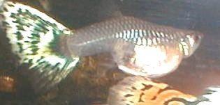 Gambar Ikan Guppy Mosaic Betina