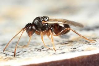 Mazı arılarının özellikleri