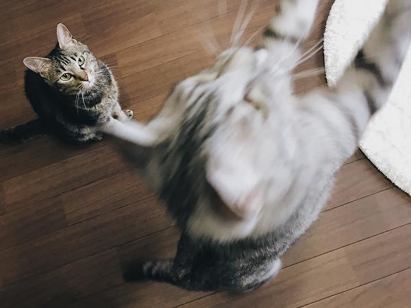 エノコログサに飛びつくサバトラ猫
