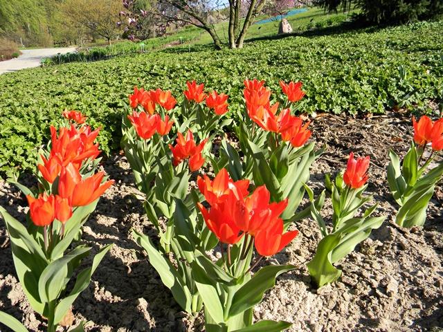 Czerwone tulipany w Wojsławicach.