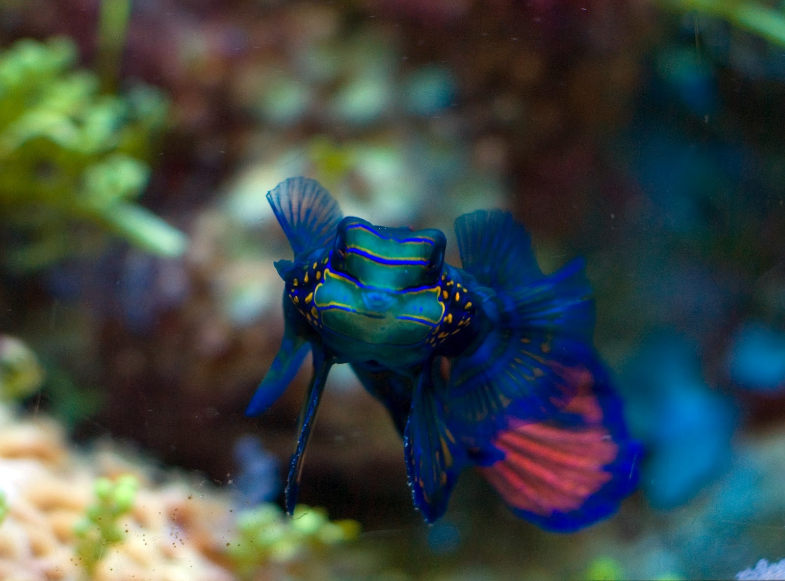 Beautiful fishes for home aquarium - photo#54
