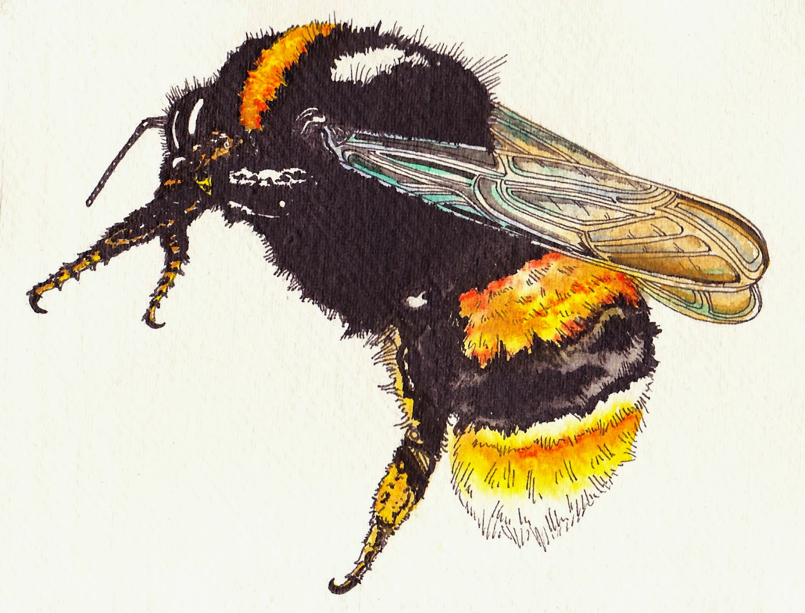 Queen Bee Scientific Illustration
