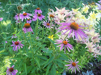 Cottage Garden - Purple Coneflowers