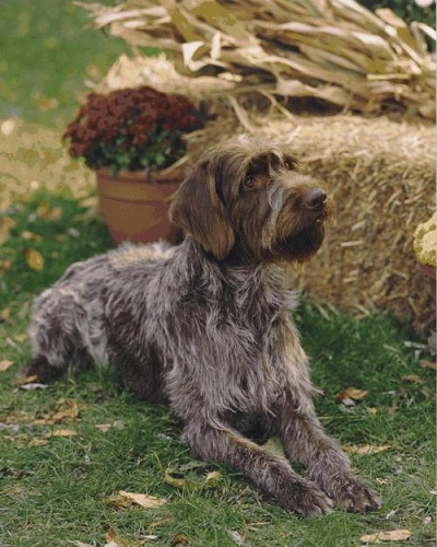 Medium Sized Dog Breeds Wirehaired Pointing Griffon Dogs