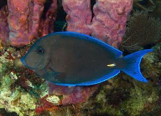 Acanthuridae (ikan pakol)