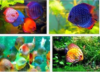Ini Dia Tips Cara Mudah Membedakan Ikan Discus Jantan Dan Betina