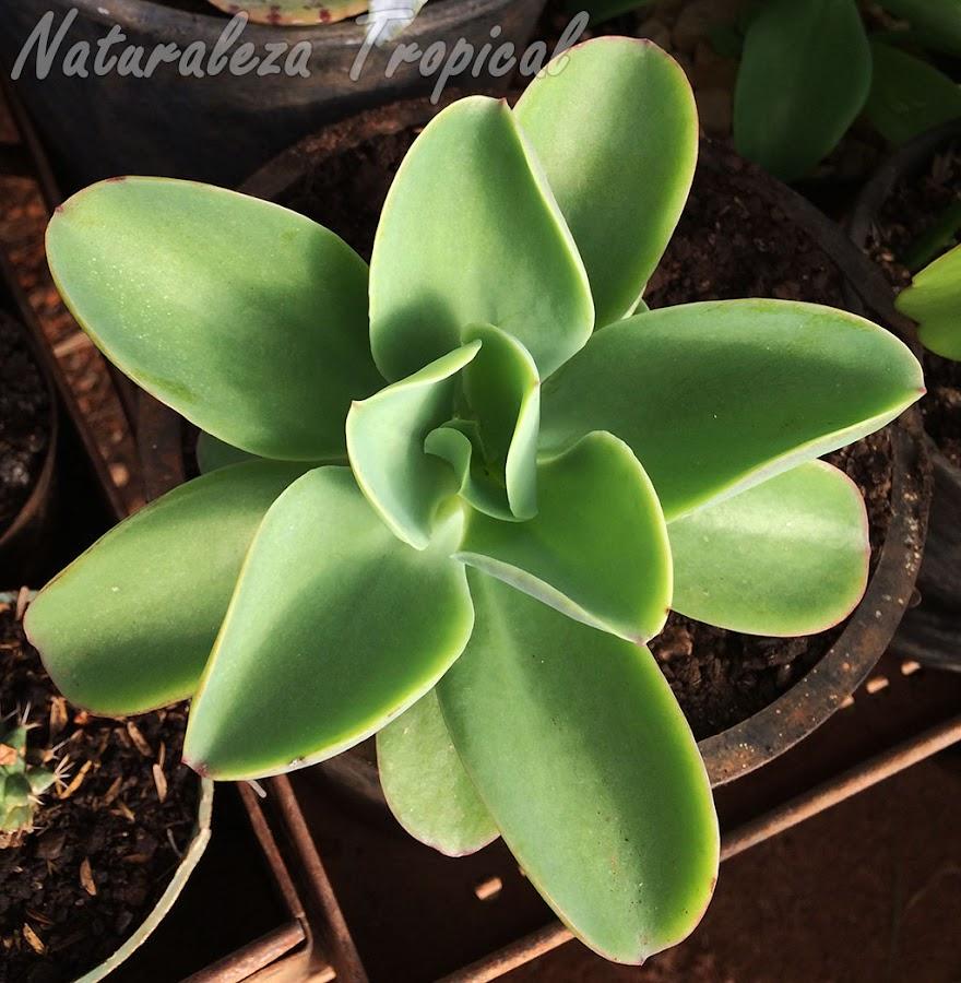 Una suculenta con un hermoso color verde pálido, Echeveria pallida