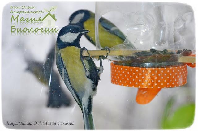 наблюдение-птиц-на-кормушках-синицы