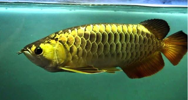Dunia Ikan Hias - ARWANA BLACK GOLDEN