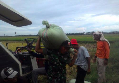 Panen Padi, Serda Mulyono Dampingi Petani di Kelurahan Gebang