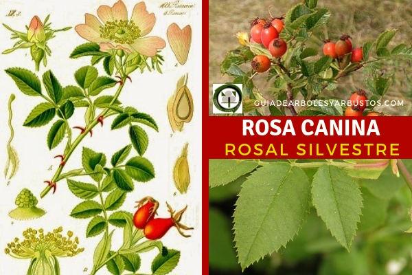 El rosal silvestre, rosa canina es una planta medicinal de la familia rosáceas