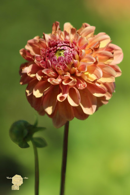 Iced Tea Dahlia In Marzipan And Milano Tones
