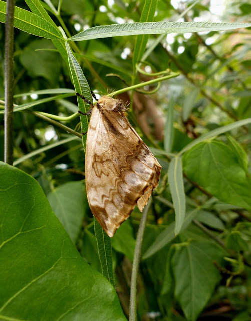 Molippa nibasa female