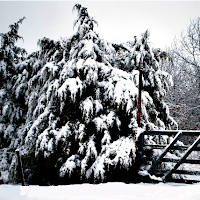 Snow on pine trees after a snowstorm - how to prepare for a snowstorm.