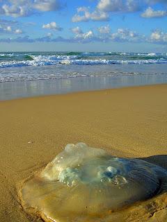 сезон медуз в море Израиля