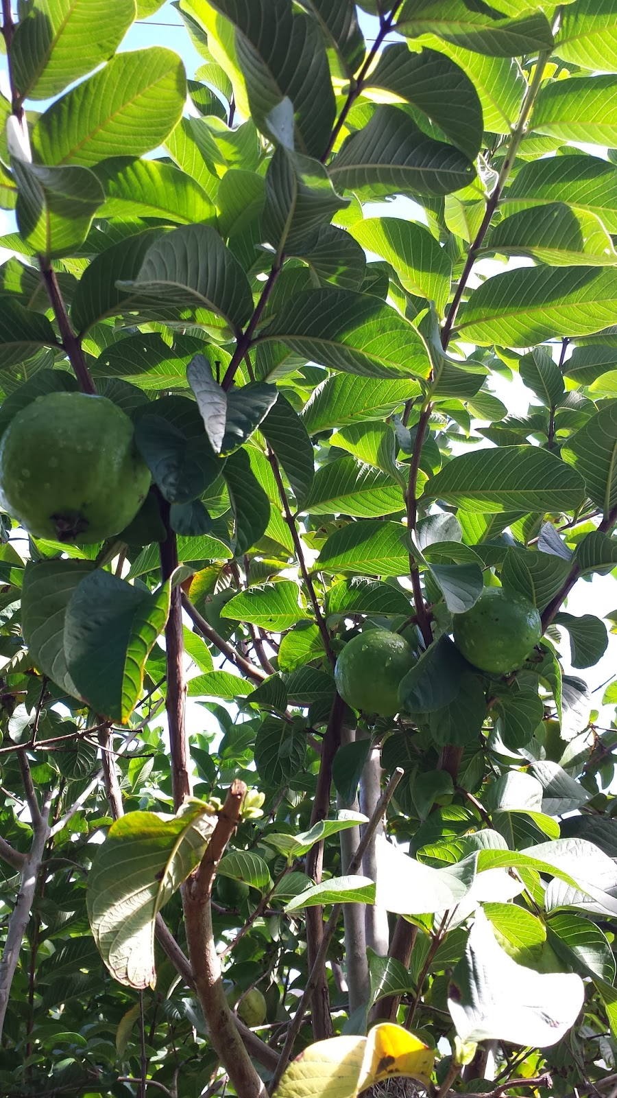 Hawaiian Beauty Diaries Guava Leaves For Skin Problems