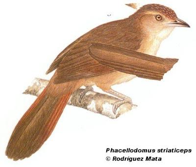 Espinero andino Phacellodomus striaticeps