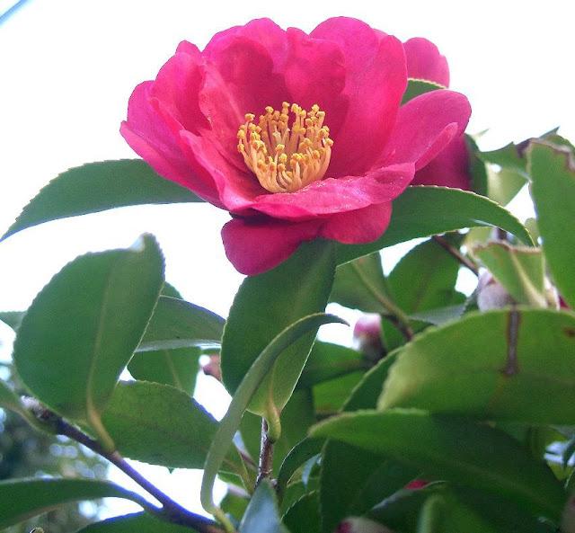 Hoa Sở - Camellia sasanqua - Nguyên liệu làm thuốc Có Chất Độc