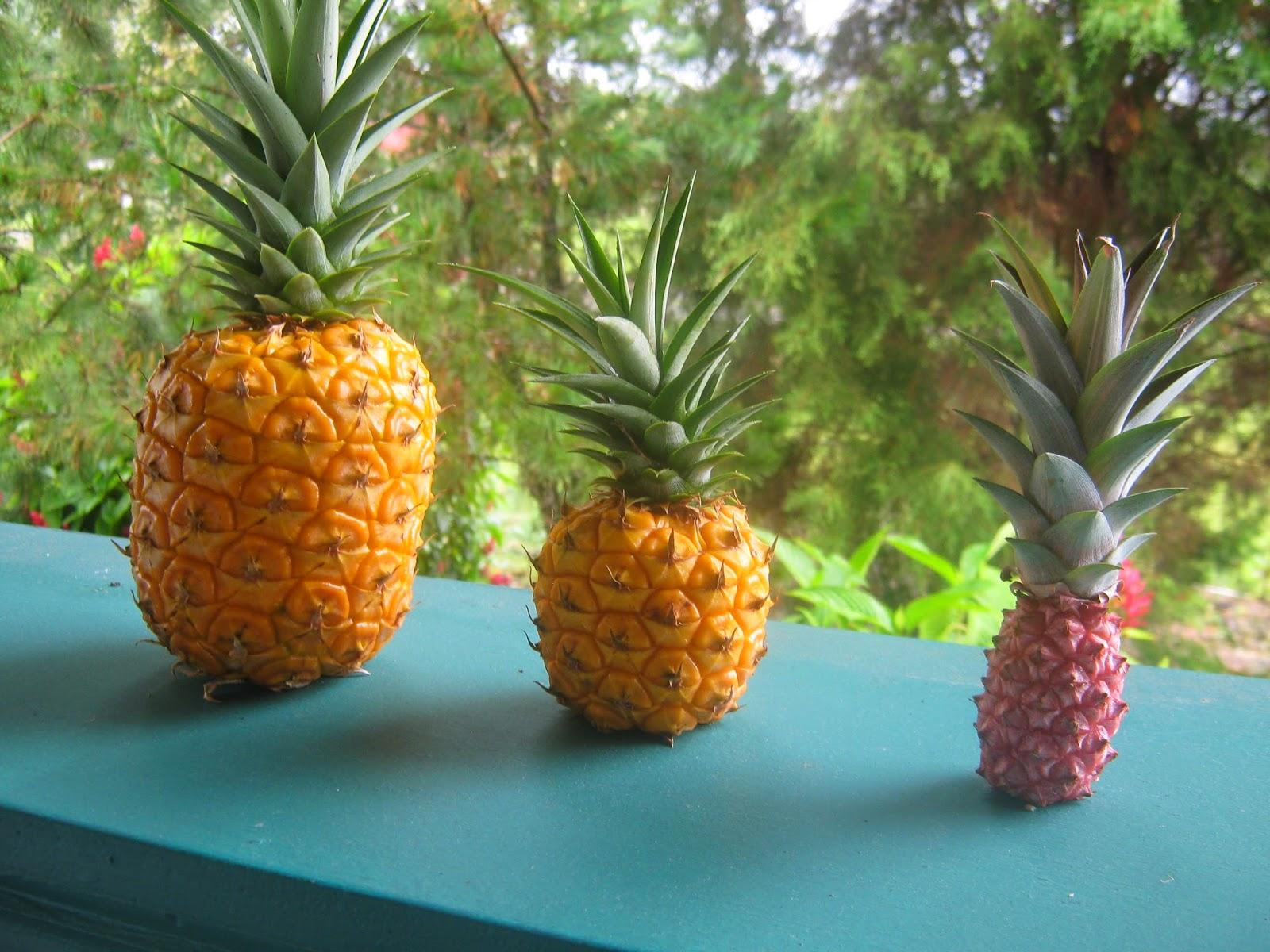 Garden Guy Hawaii Pineapples Easily Propagated