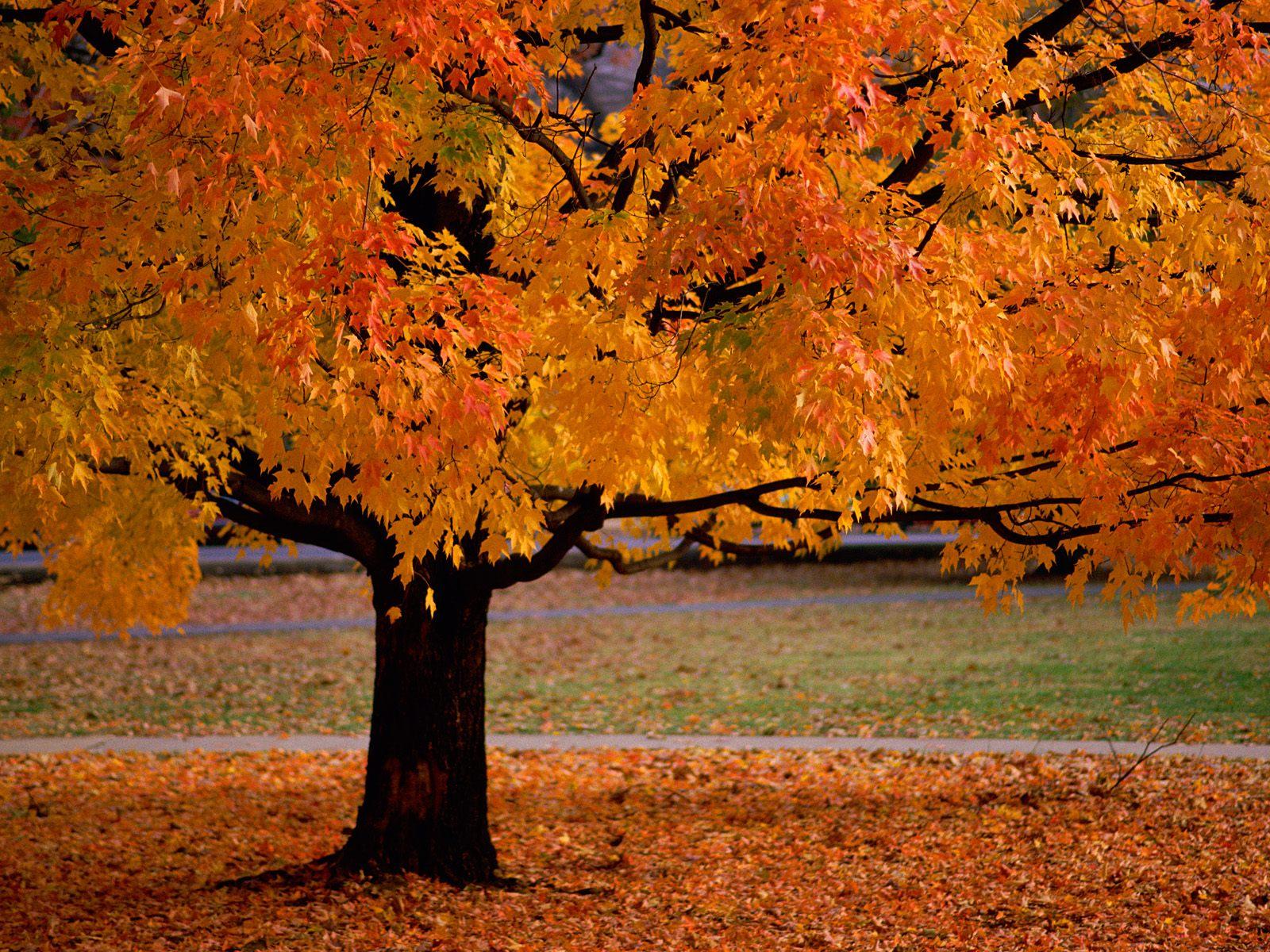 Fall Trees Wallpaper For Desktop Pourquoi Les Feuilles Des Arbres Tombent Elles En Automne