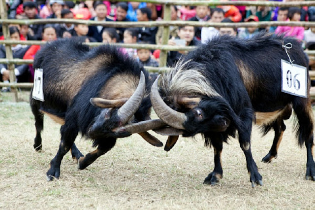 Goat fighting festival in Ha Giang 5