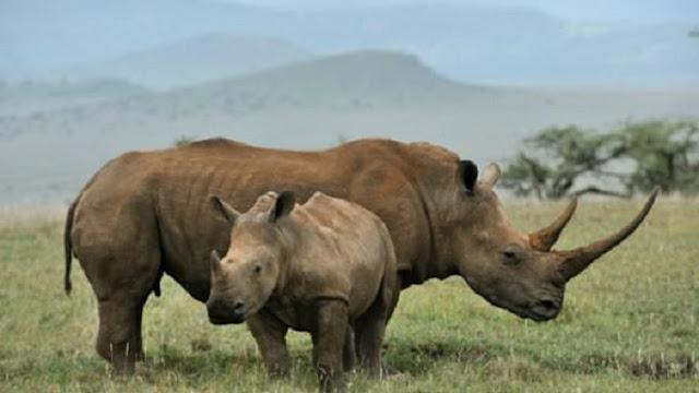 Decline in genetic diversity of black rhino
