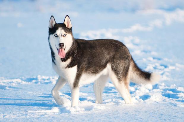 phân biệt chó alaska và husky