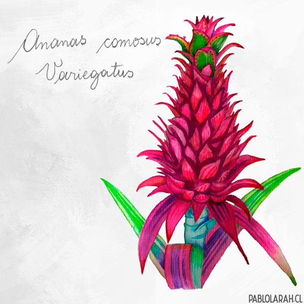 Illustration, Ananas comosus, Pineapple, Pablo Lara H
