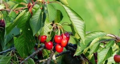 efek samping daun ceri cara merebus daun ceri cara membuat rebusan daun kersen cara mengolah daun ceri khasiat buah ceri gambar daun ceri ciri ciri daun ceri