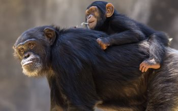 Wallpaper: Chimpanzee mom with cub