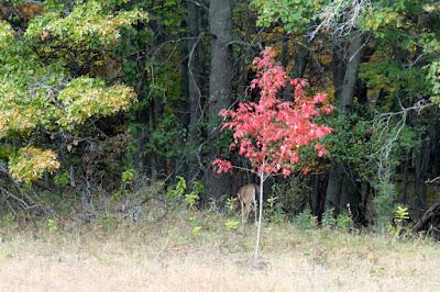 maple sapling at peak color