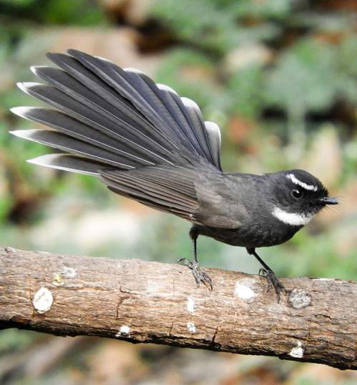 Indian birds - Image of White-throated fantail - Rhipidura albicollis