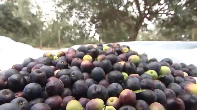 Azeitanas colhida em cima de um plastico debaixo das oliveiras