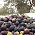 Rio de Contas, na Chapada Diamantina é a primeira cidade nordestina a produzir azeitona no país; vídeo