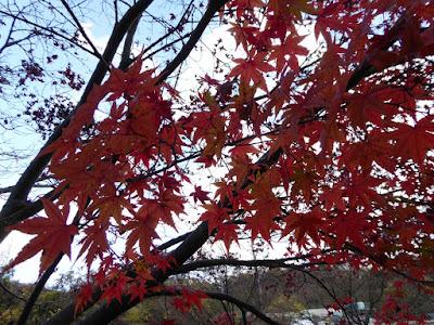 磐船神社周辺ウォーキング カエデの紅葉