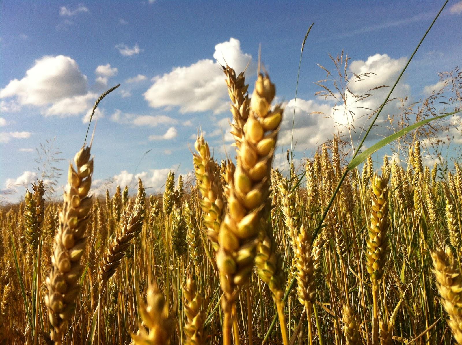 Getreide Erkennen