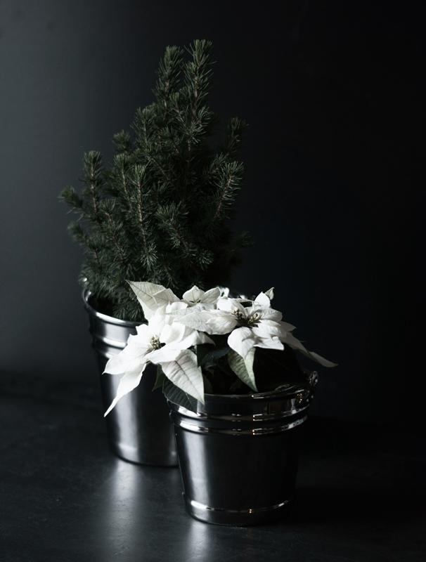 Blog + Fotografie by it's me! - Zuckerhutfichte und Weihnachtsstern