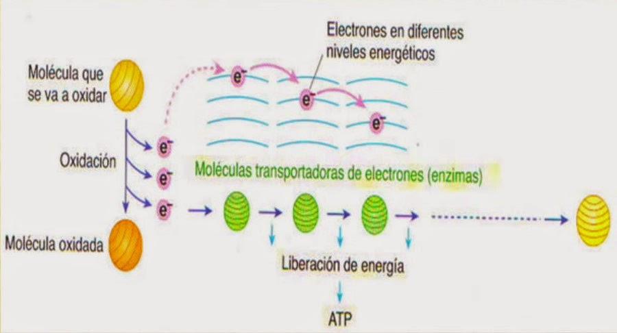 Urbina Vinos Blog: El Metabolismo Celular: Anabolismo..