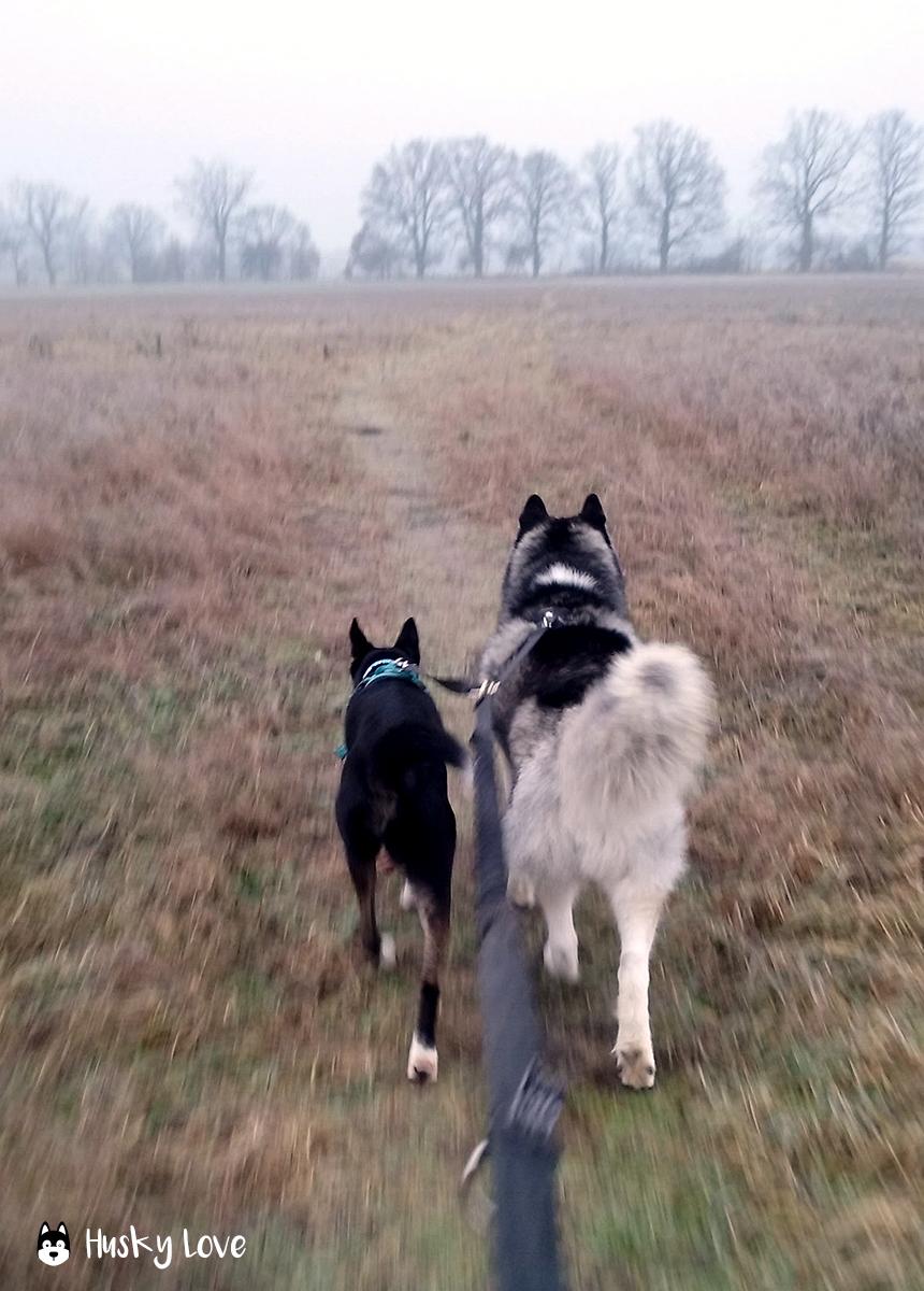 Loki i Łajka na wspólnym spacerze, fot. Husky Love
